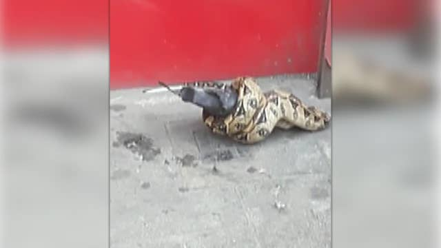 Raw video: Snake spotted eating pigeon in London