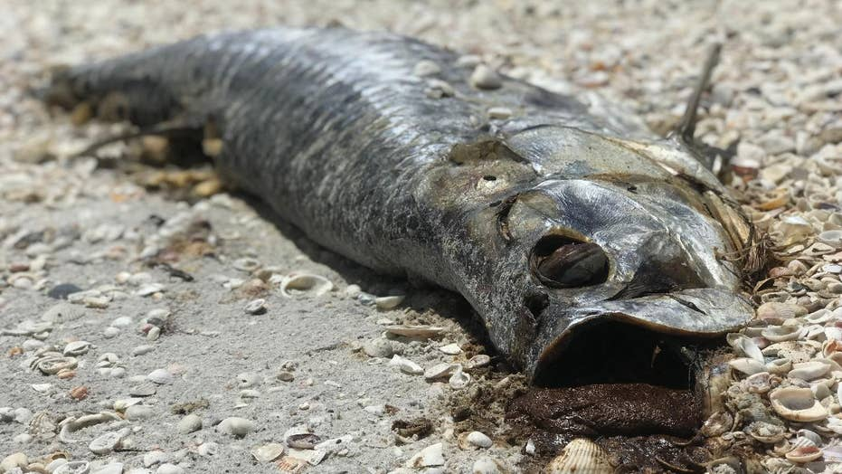 Red Tide killing sea life, causing sickness along Gulf Coast