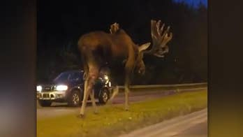 Drivers slow down, put vehicles in reverse to catch a glimpse of the gigantic animal as he walks in the grass median in Anchorage.