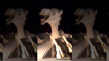 Unbelievable video shows camel trapped inside car after collision
