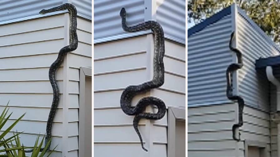 Raw video: Australian man records nearly 10-foot reptile climbing up his home.