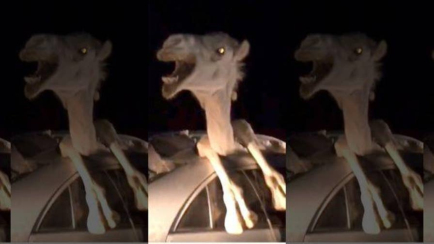 Newly released footage shows a camel trapped inside a Toyota Corolla after the car collided with the animal.