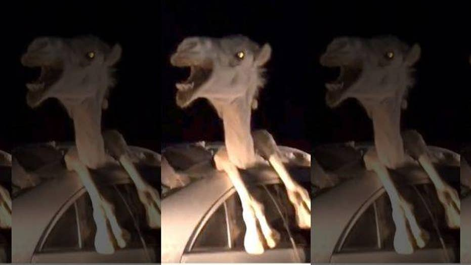 WILD video: Camel trapped inside Toyota Corolla