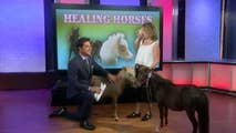 Emotional support mini horses from Hope's Promise Farm stop by 'Watters' World.'