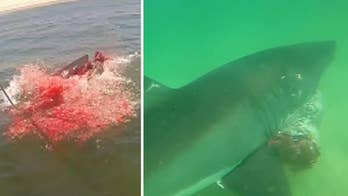 Raw video: Researchers with Atlantic White Shark Conservancy record up-close footage of great white shark seal kill about 100 yards from beach off Wellfleet, Massachusetts.