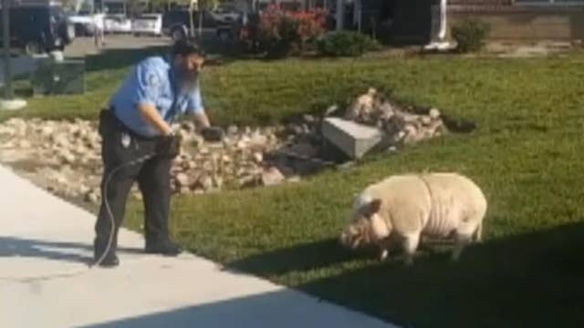Pet pig goes hog wild, resists arrest