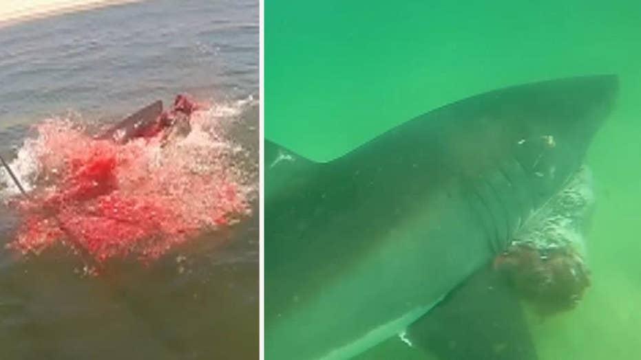 Warning, graphic content: Rare look at white shark predation