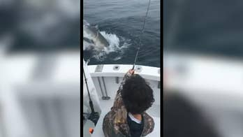 A child fisherman is seen reeling in a striper off the coast of Cape Cod's Monomoy Island when a Great White shark leaps out of the ocean and snatches the catch for itself.