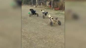'Wheelie dogs' captured on video fighting to keep deflated green ball.