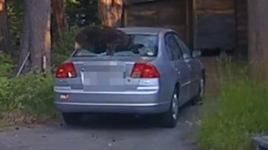 Raw video: Bear makes run for it after California officer shoots beanbag rounds to break rear window of vehicle to allow the animal to escape in South Lake Tahoe.