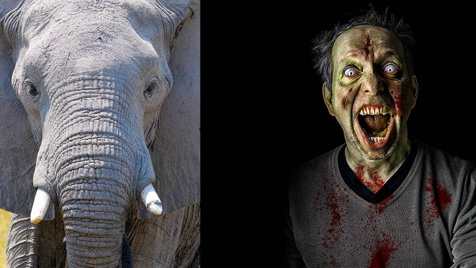 Rare 'zombie' gene that fights cancer found in elephants