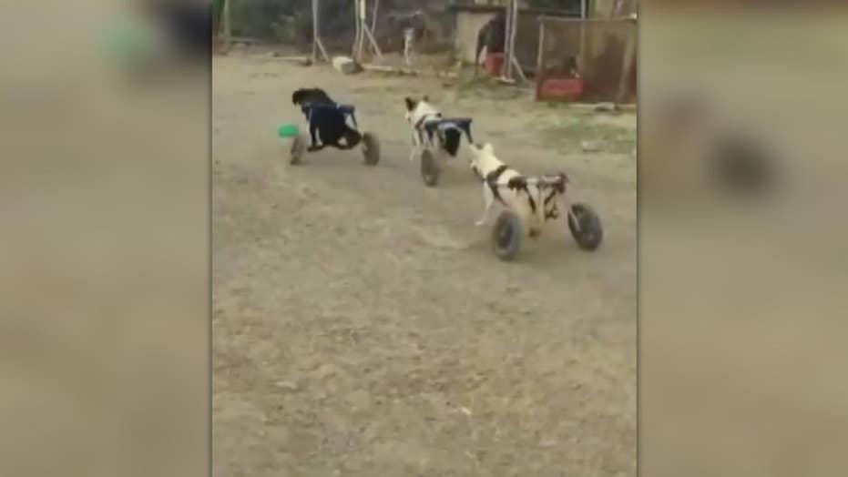 Video: Several wheelchair-bound dogs enjoy playtime