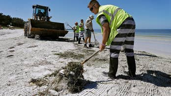 As red tide continues to choke the southwest Florida coast, dead fish are piling up on white sand beaches; Jonathan Serrie reports from Sarasota.