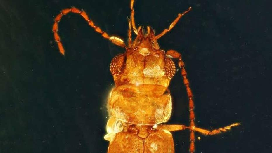 A 99-million-year-old beetle found with pollen