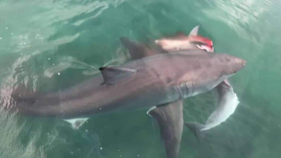 Great white shark kills dolphin, loses meal to bigger shark