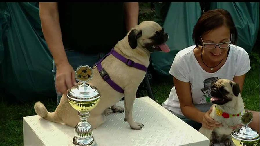 Dozens of dogs take place in Berlin's international pug race.