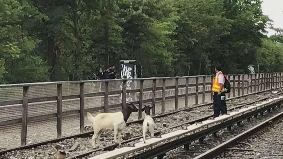 Goats block trains on New York City subway