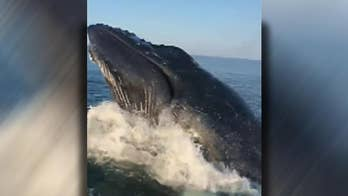 Raw cell phone video captures the moment that the whale surfaced.
