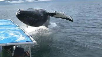 Whale watchers experience close encounter with humpback near Pleasant Island, Alaska.