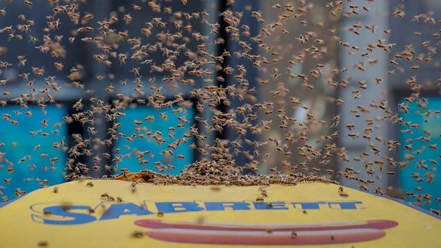 NYPD's 'Bee Guy' vacuums the swarm into a bucket for relocation after the flying insects made a home atop the umbrella of a hot dog stand in the middle of New York City.