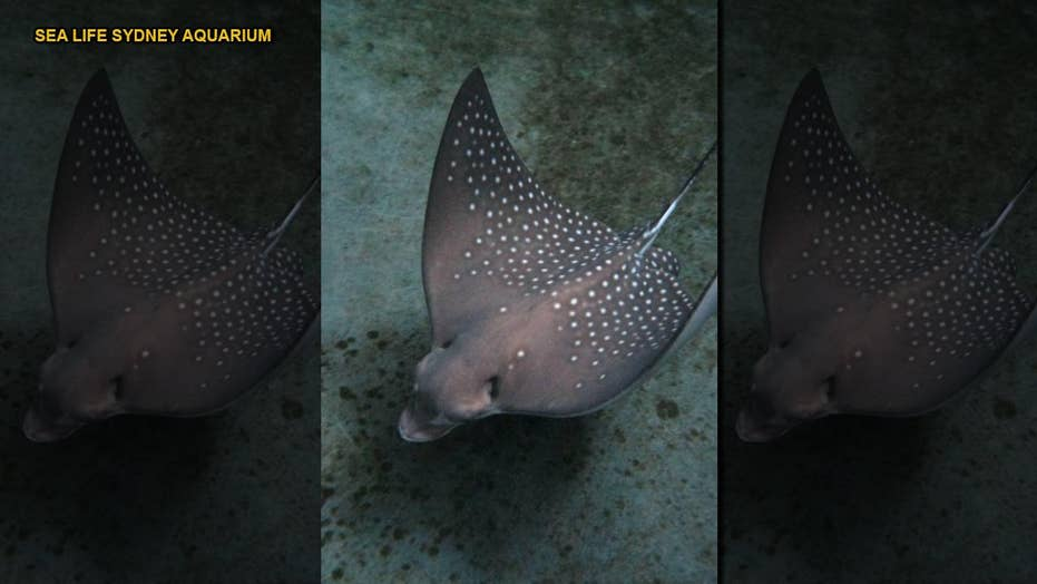 VIRGIN BIRTH! Stingray gives birth after cloning herself