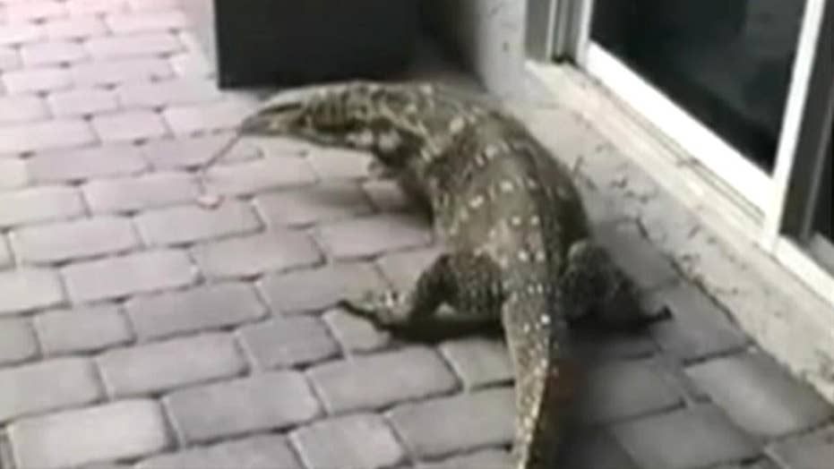 6-foot lizard terrorizes Florida family