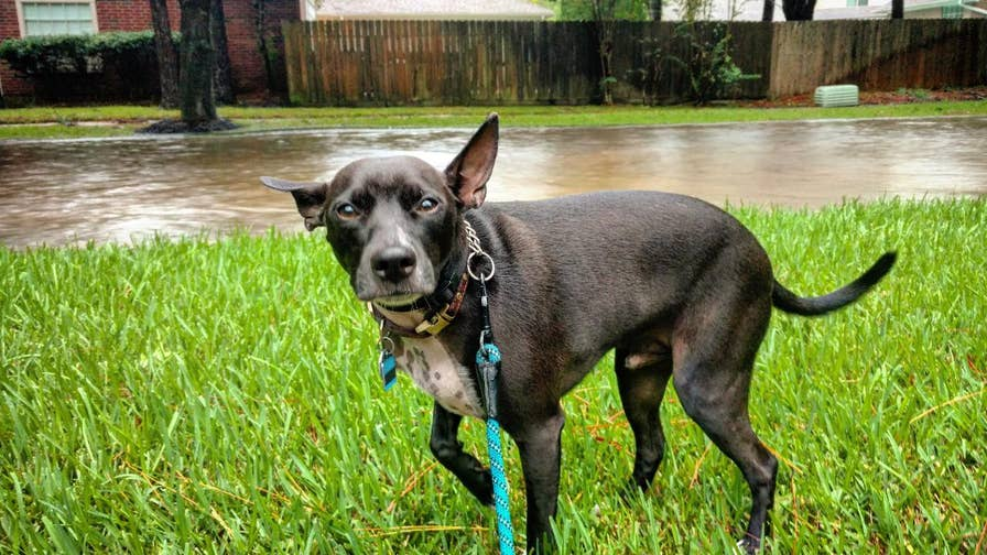 With Hurricane Florence on its way to the southeastern U.S., many pet owners should consider the needs of their four-legged friends and how to keep them safe. Take a look at safety tips from the Florida Division of Emergency Management.