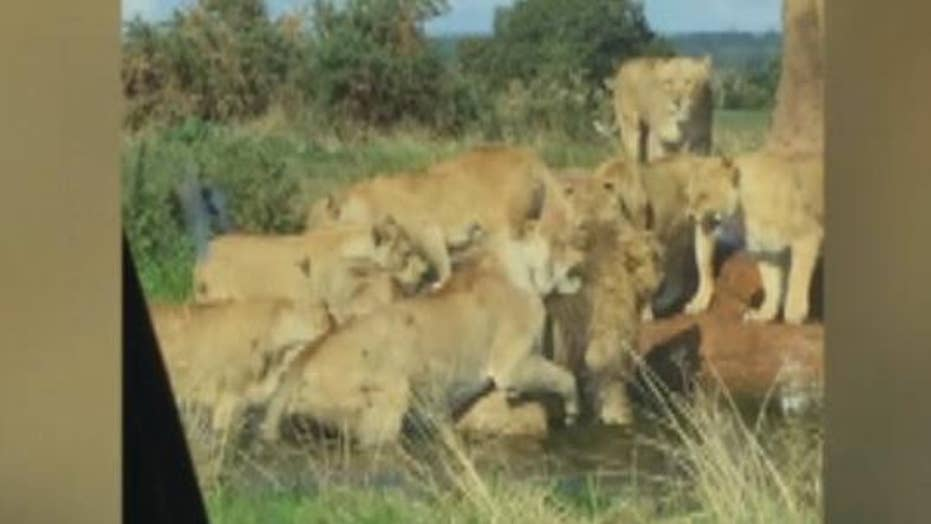 Nine lionesses attack lion as horrified visitors look on