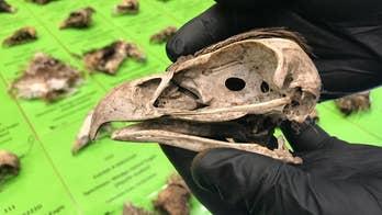 Shocking eagle slaughter: Mass poisoning killed 137 birds of prey