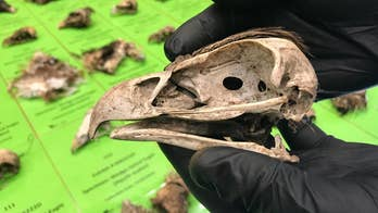 Australian authorities charged a man after the carcasses of 137 spread-tailed eagles were found hidden on a farm. The man is accused of poisoning the protected species.