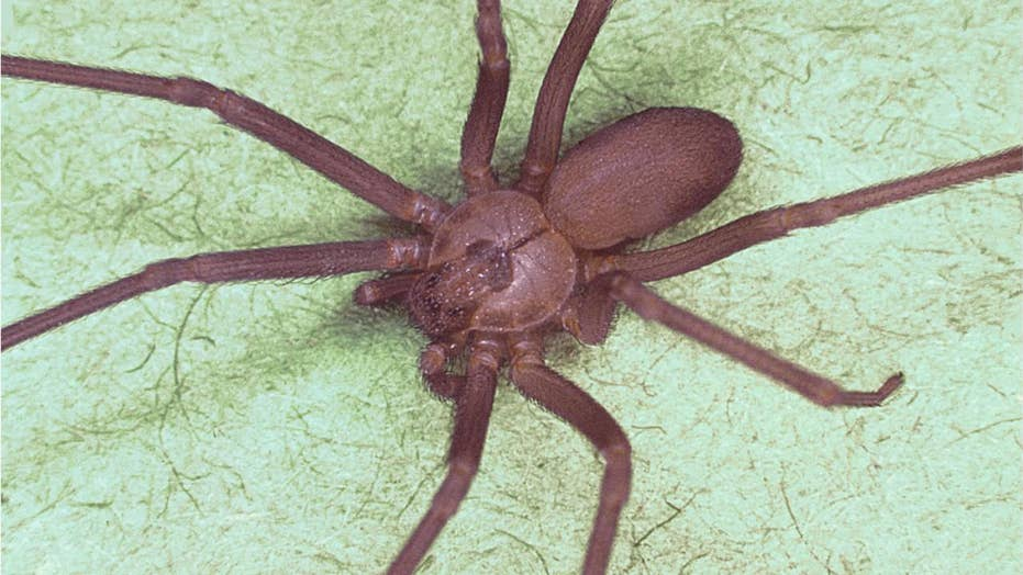 30 venomous brown recluse spiders invade Georgia house