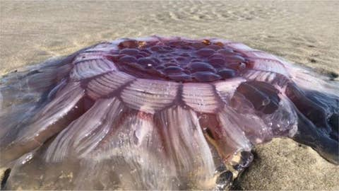 Giant sea creature discovered on beach
