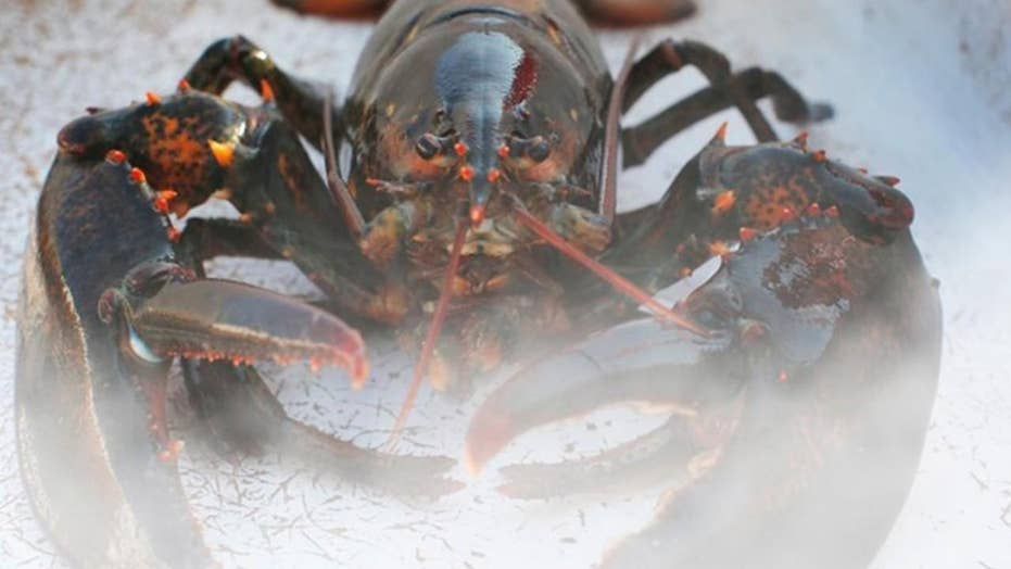 Maine restaurant gets lobsters 'high' before killing them