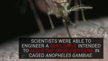 Researchers at Imperial College London were able to stop the reproduction of caged Anopheles gambiae, a species of mosquito that is one of the major culprits in the spread of malaria.