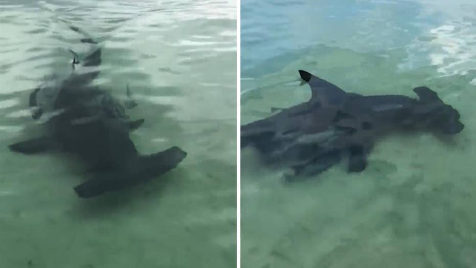 Boaters spot rare scalloped hammerhead shark in Florida