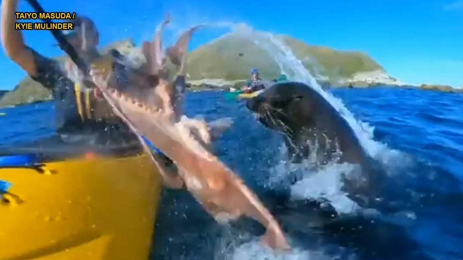 Funny video: Seal slaps kayaker with octopus in the face