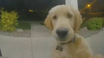 Golden retriever puppy locked out of house rings doorbell to get back inside