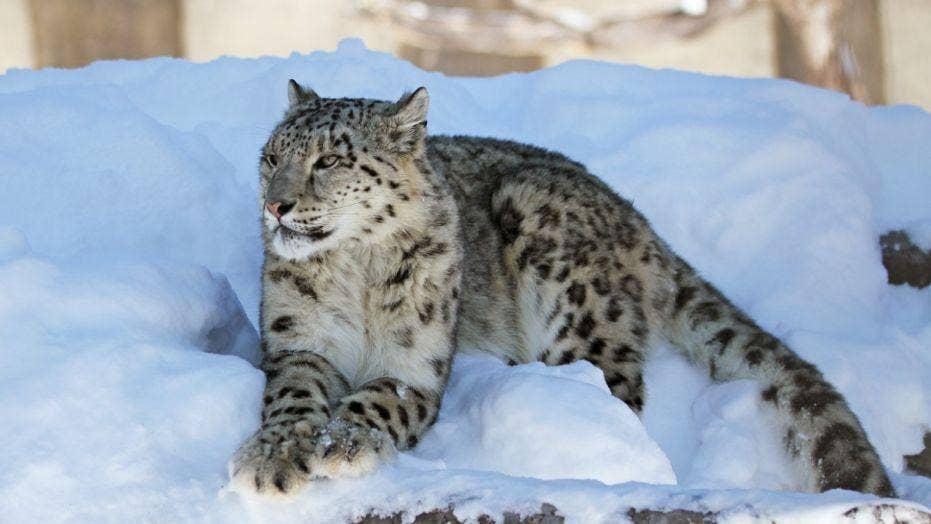 Snow leopard takes a selfie