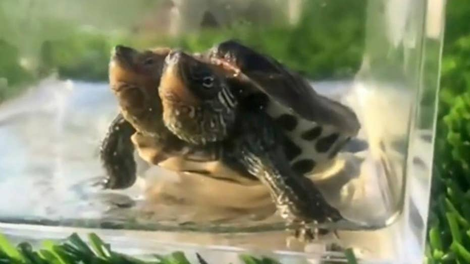 Two-headed turtle thriving in China