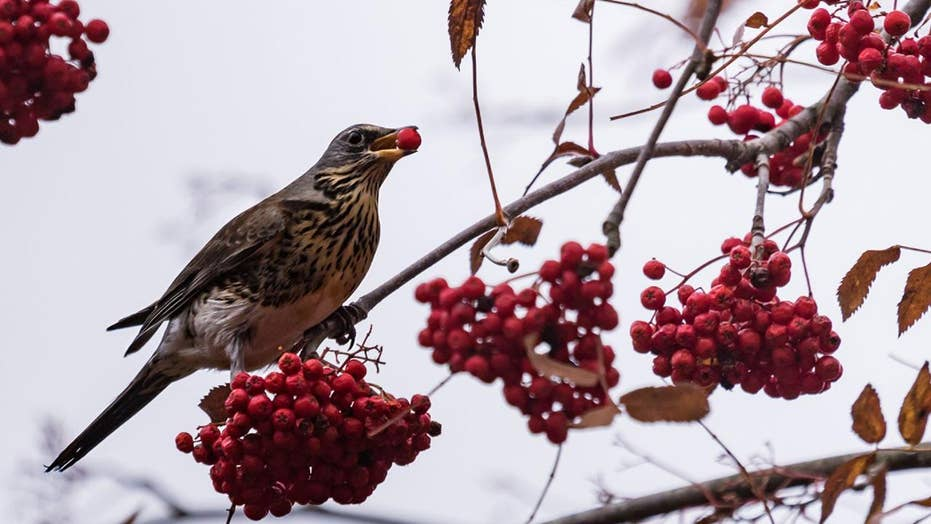 'Drunk birds' in Minnesota fly into cars and windows