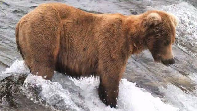 Brown bear's amazing weight gain