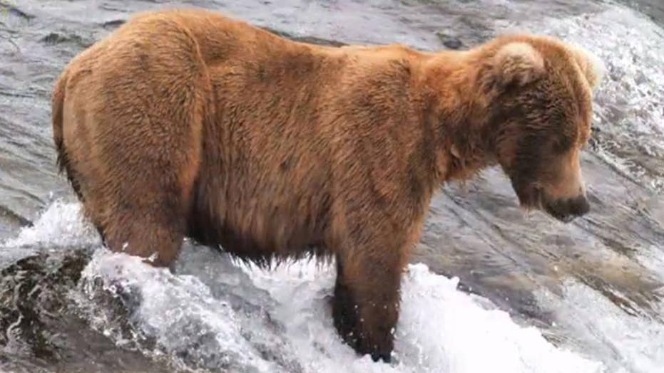 Alaska national park's Fat Bear Week tournament returns to celebrate chubbiest brown bears