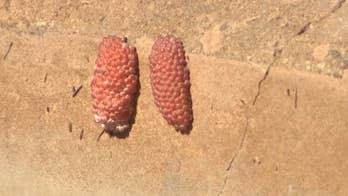 Small snails causing big problems in Arizona