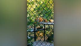 Man visiting California zoo caught on video scaling barrier near tiger habitat