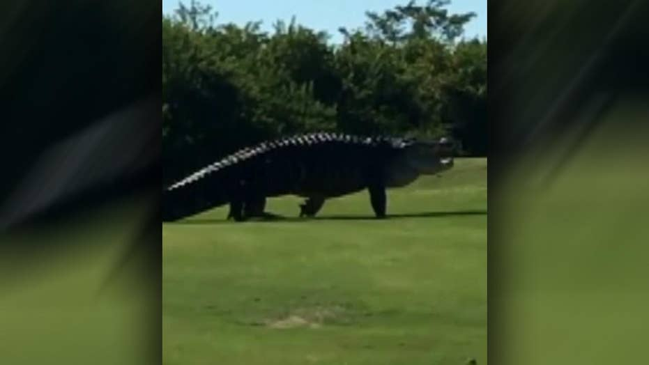 Fifteen-foot alligator spotted at Florida golf course