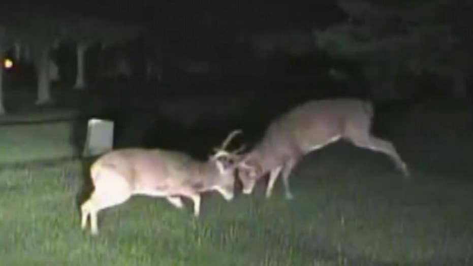Police dashcam catches two deer fighting