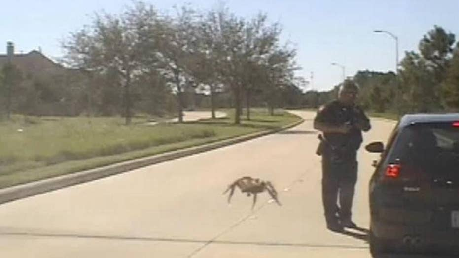 Dashcam footage captures 'giant' spider during traffic stop