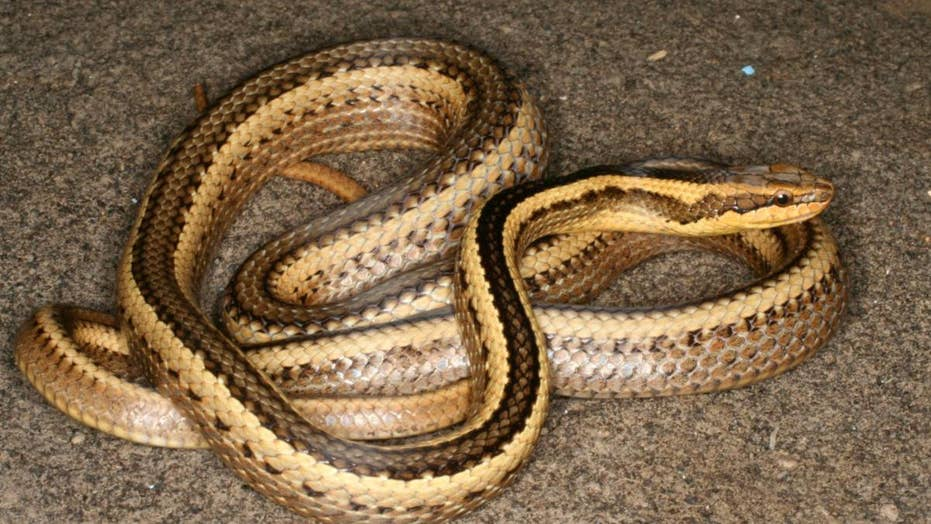 Snake named after college professor