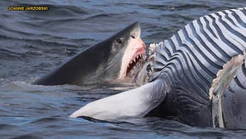 GRAPHIC IMAGES: Photos show great white sharks devouring whale