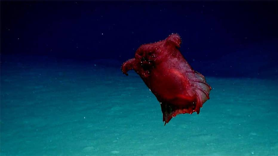 'Headless chicken monster' discovered in the Southern Ocean